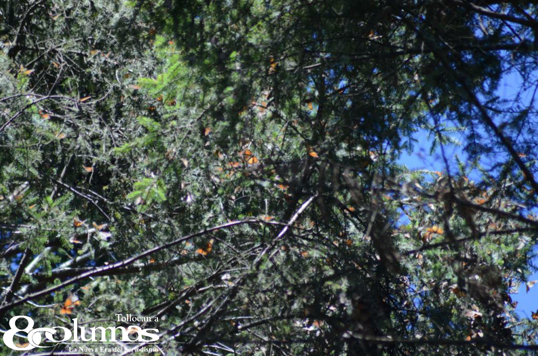 Albergan santuarios mexiquenses a la mariposa monarca - Nov 29, 2020