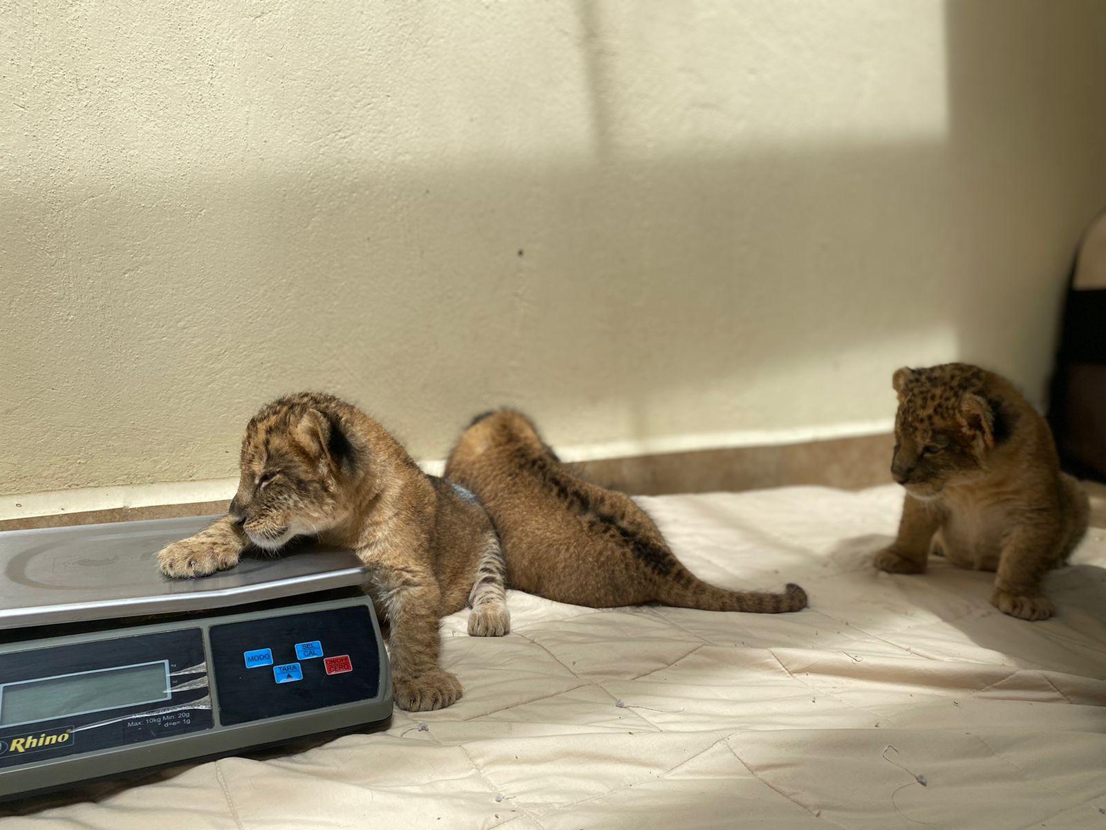 Crían de forma artificial a tres felinos en Zacango - Ago 30, 2021